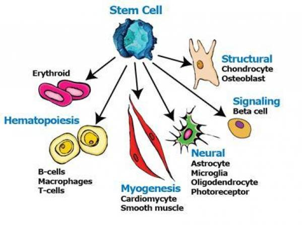 stem cell the basis of all the different cells in the human body As the red blood cells travel around the body, the hemoglobin releases oxygen to the tissue cells these need oxygen to make energy from digested food and to good to know about the importance of protein in the human body deficiency of proteins such as dystrophin would lead to diseases such as.